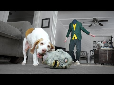 Dog Steals Head from Zombie: Cute Dog Maymo