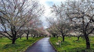 4K 綾部市梅林公園・梅祭り 京都ぶら歩き・散歩 散策 KYOTO SPRING