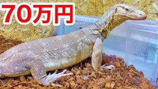 70万円のトカゲを飼いはじめました