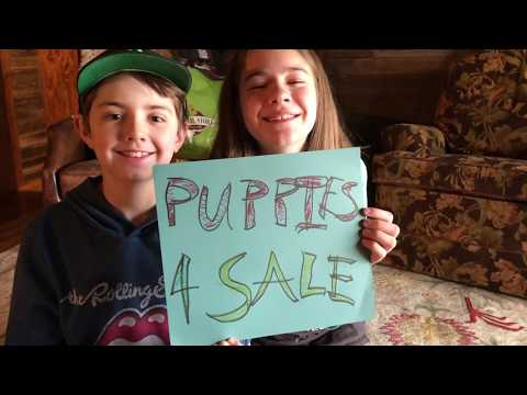 The Not Dead Yet Show Ep 71 Birth Of Labrador Puppies. For Sale.
