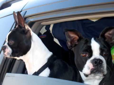 Funny Dog Video: Boston Terriers (short version)