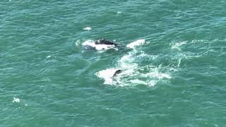 Humpback Whales Spotted Beneath Golden Gate Bridge