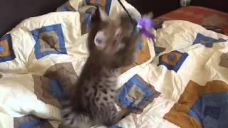 Элитные котята Саванна Ф1 питомника ROYAL CATS (Котёнок Ашеры)