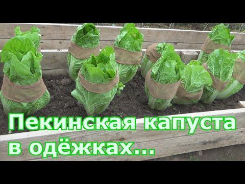 Как вырастить пекинскую капусту чтобы не пошла в цвет