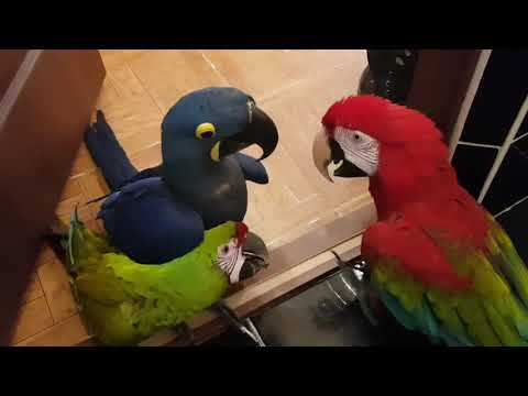Попугаи Ара делят территорию