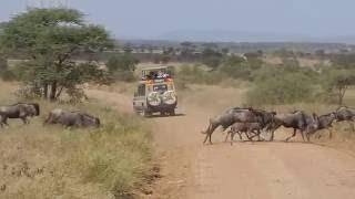 Сафари в Африке. Потрясяющие впечатления о Танзании! Туры