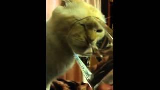 кот пьет со стакана