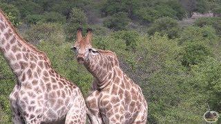 FUNNY - Watch A Giraffe In Love