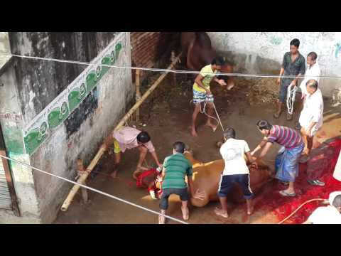 Big Cow Qurbani Bangladesh-2013, part 4