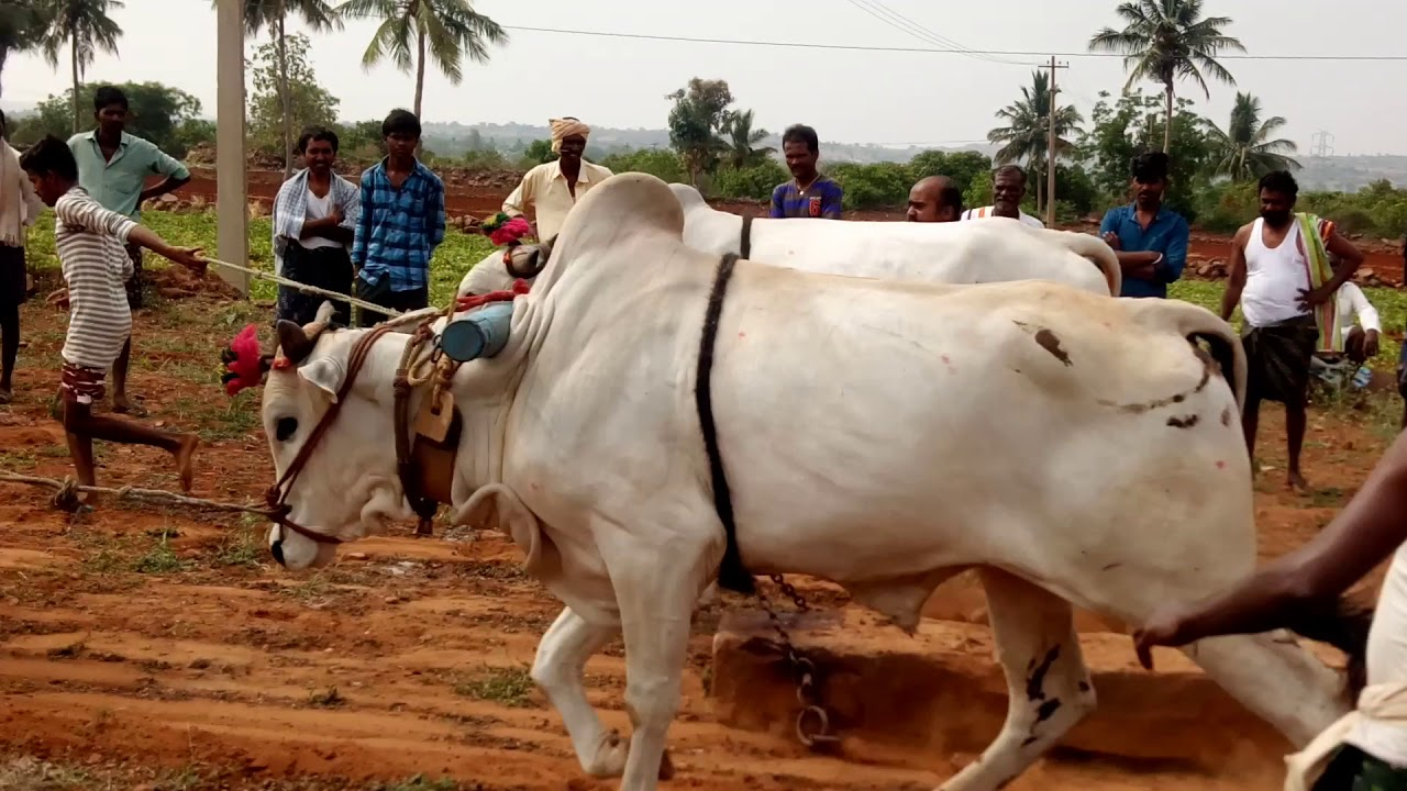 Ongole breed cow rock dragging competition in gudivada-telugu agricultural news