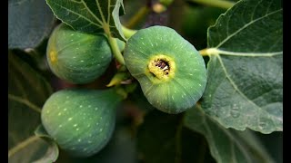 Benefits Of Fig ||10 Benefits Of fig || Anjeer Ke Qudarti Faide top 10 benefits of fig fruit