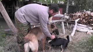 Собаки играют, ещё в лагере-стане. Вес имеет значение. Свобода дороже всего.
