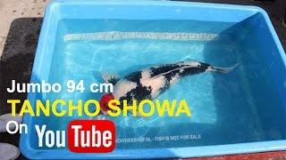 Biggest Jumbo Tancho Showa koi fish in the world | Marujyu Koi Farm