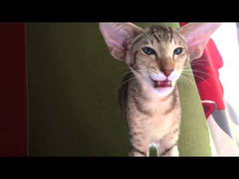 Dora the chatty oriental cat