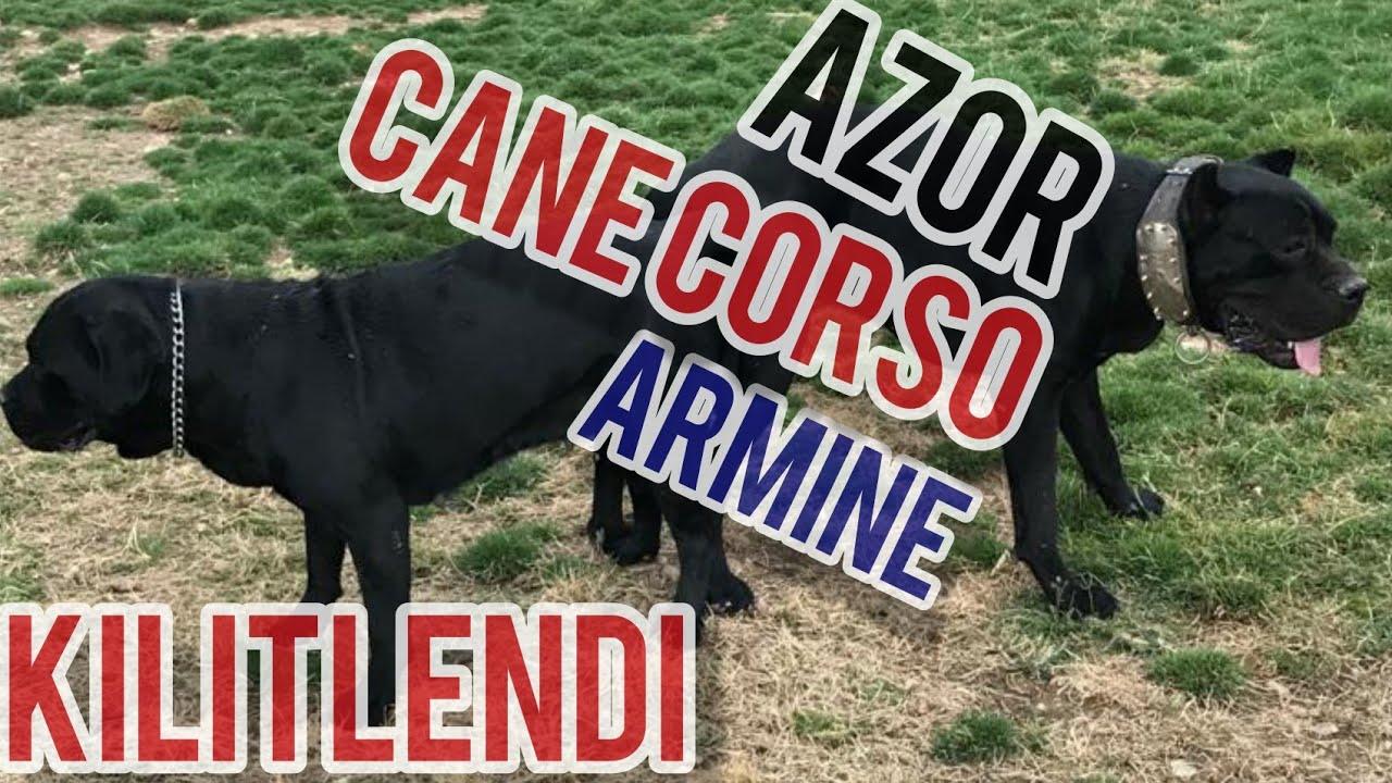 CANE CORSO  AZOR & ARMİNE KİLİTLENDİ +18 !!! #canecorso