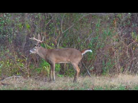 Big Illinois Whitetail gets Smoked by a Bow Hunting Hottie.