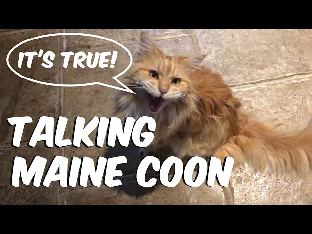 Maine Coon talking to owner: our cat says thank you!