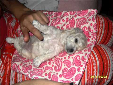 BLANKITA,CIELOY LLUVIA, PERRITAS MALTES MIS BEBES 3.3.wmv Travel Video