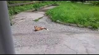 Лисица в Южно-Сахалинске
