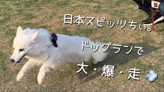 ららぽーと豊洲のドッグランで爆走する日本スピッツちぃ。の動画です。 ...