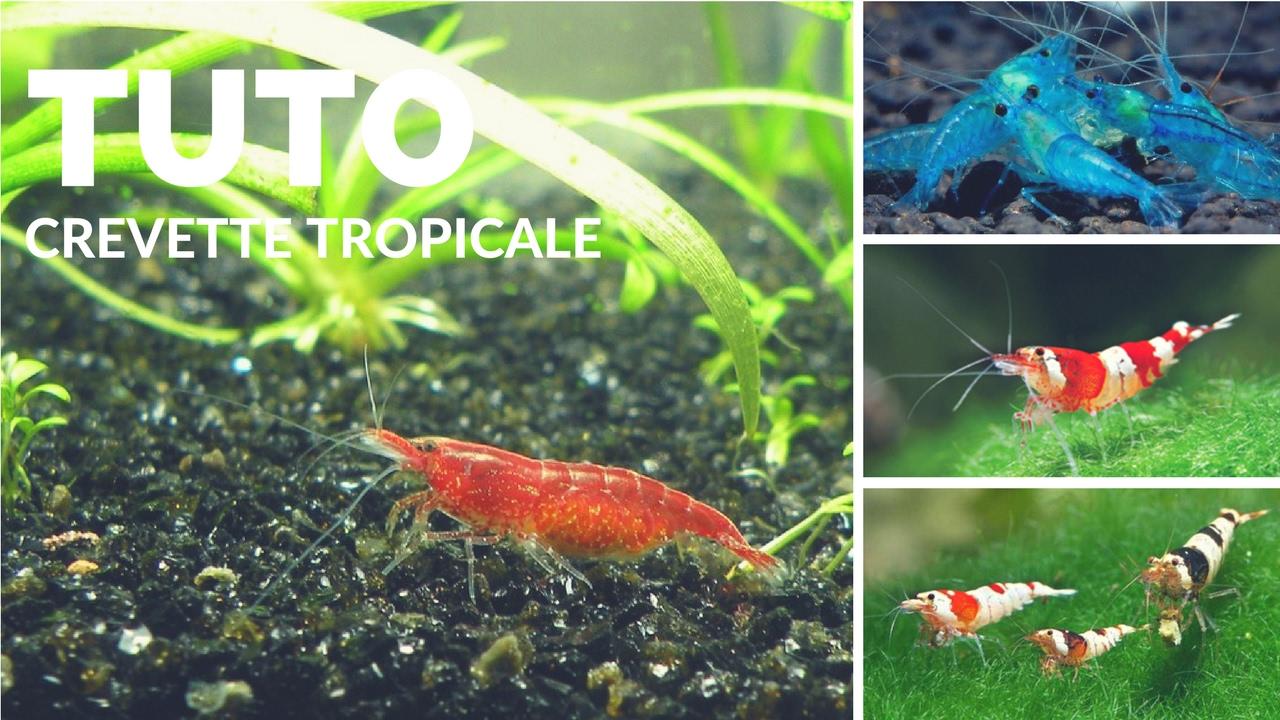 TUTO - Comment faire un aquarium pour des CREVETTES tropicales