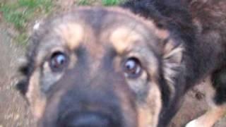 Minky - 12 Week Old Husky X Rottweiler Puppy - Huskies In Need