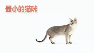 The smallest cat: Singapore Cat