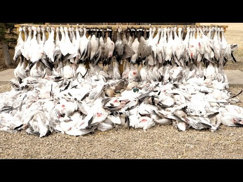 Hired to Hunt Season 4 #13: Good Things Come to an End. Duck & Goose Hunting. Limit Hunts Alberta