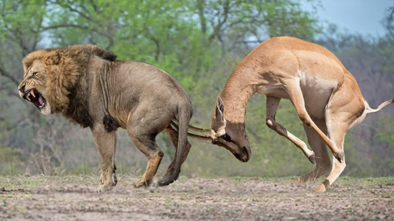 Terrible Power of Impala Horns | Male Lion Save Impala From Wild Dogs – Animals Save Other Animals