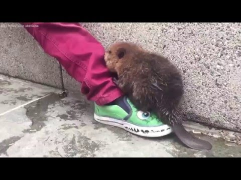 Adorable baby beaver spotted wandering in Washington, D.C.