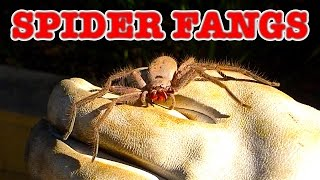 Big Spider With GIANT Spider Fangs Arachnophobia Warning!
