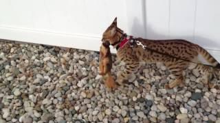 Кошка породы Саванна поймала белку