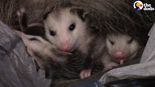 People Help Mom Opossum And Her Babies Make It Back Home | The Dodo