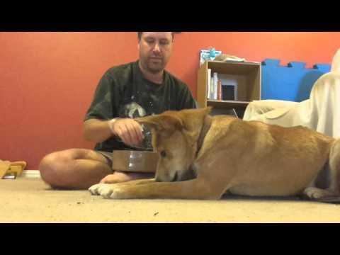 How to train a dingo.
