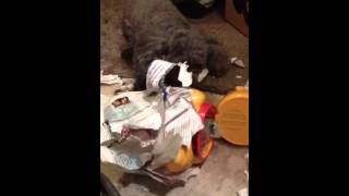 Teacup poodle tearing paper off his treat jar and guarding it. It h...