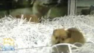 Purebred Pomeranian (toy) Puppies