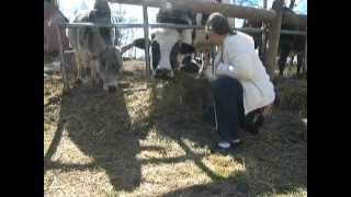 Lakshmi Cow Sanctuary Bangor, PA (VeganCookingLessons.Org)