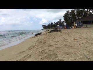 Hawaiian Monk Seals at White Plains Beach