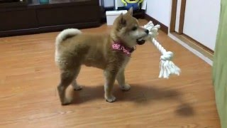 柴犬こと 新しいおもちゃは大満足 the first toy also known as the japanese midget shiba is satisfactory very much