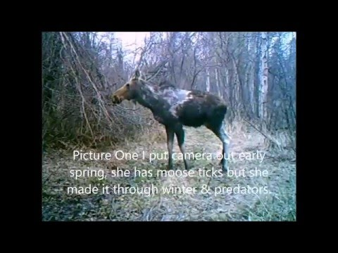 Hunting 2015 Cow Moose Down