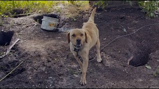 Labrador was Chained and Beaten all His Life...