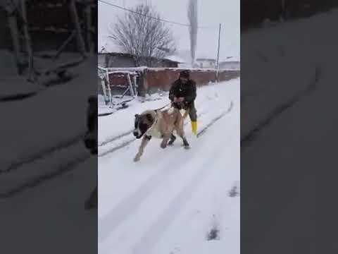 Sivas Kangal Köpeği Adama Sörf Maraton Kayak Yaptırır