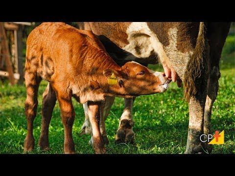 Manejo de Vacas Pós-Parto - Curso Como Produzir Mais Leite e Mais Bezerras