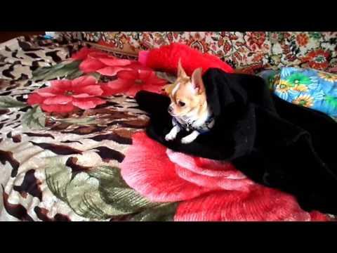 Собачья жизнь маленькой чихуахуа \ Dog's life a little chihuahuaиз YouTube · С высокой четкостью · Длительность: 7 мин20 с  · Просмотров: 239 · отправлено: 08.01.2017 · кем отправлено: СУНДУЧОК от СВЕТЛАНЫ
