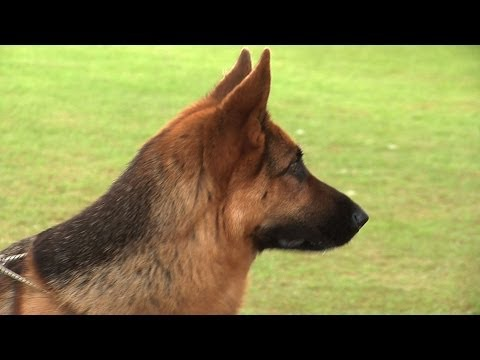 Bath Championship Dog Show 2014 - Pastoral group
