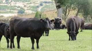 Vaches Angus Aubrac