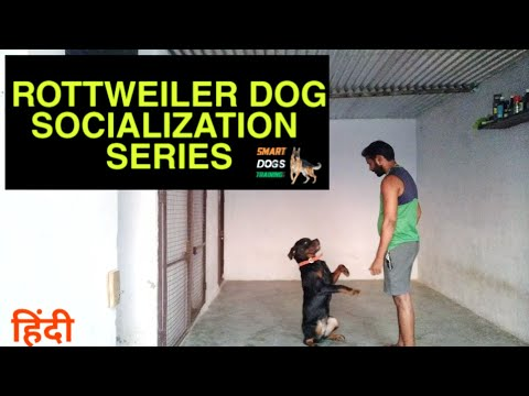 Rottweiler Socialization Series || Dog Training in Hindi