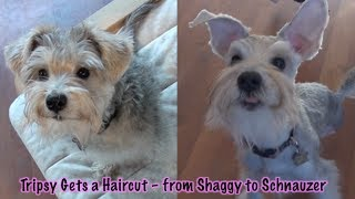 Tripod Tripsy Gets A Haircut: From Shaggy To Schnauzer
