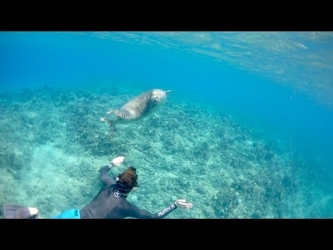 Free Diver Nearly Attacked By Giant Seal.... (Hawaii)