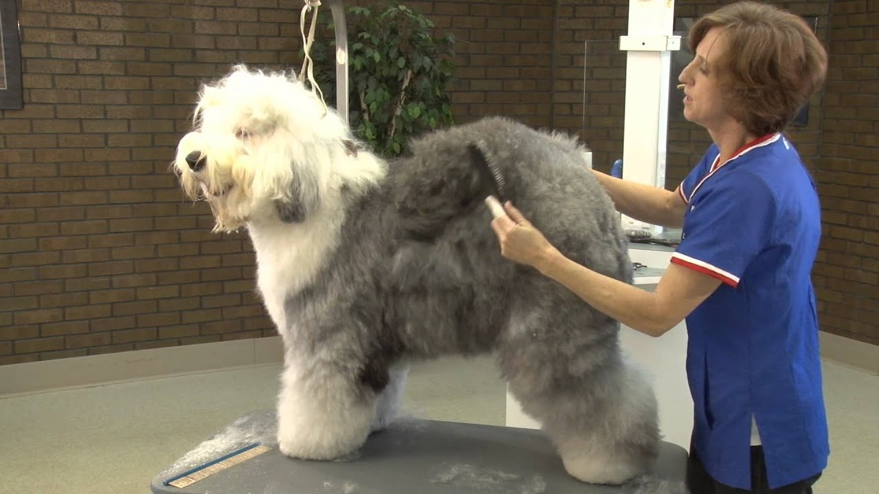 How To Prepare A Old English Sheepdog For The Show Ring